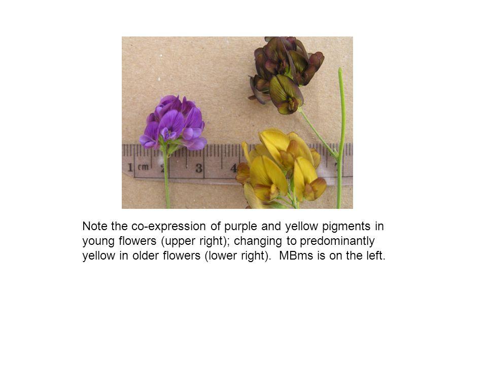 M.arborea exhibits inbreeding depression similar or greater than alfalfa.