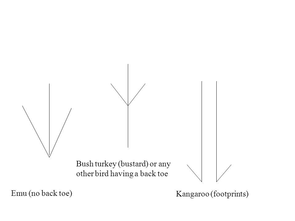 Emu (no back toe) Bush turkey (bustard) or any other bird having a back toe Kangaroo (footprints)