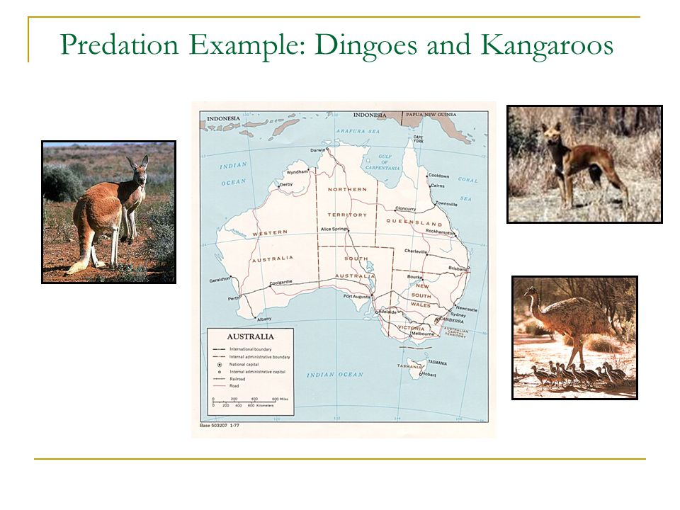 Predation Example: Dingoes and Kangaroos