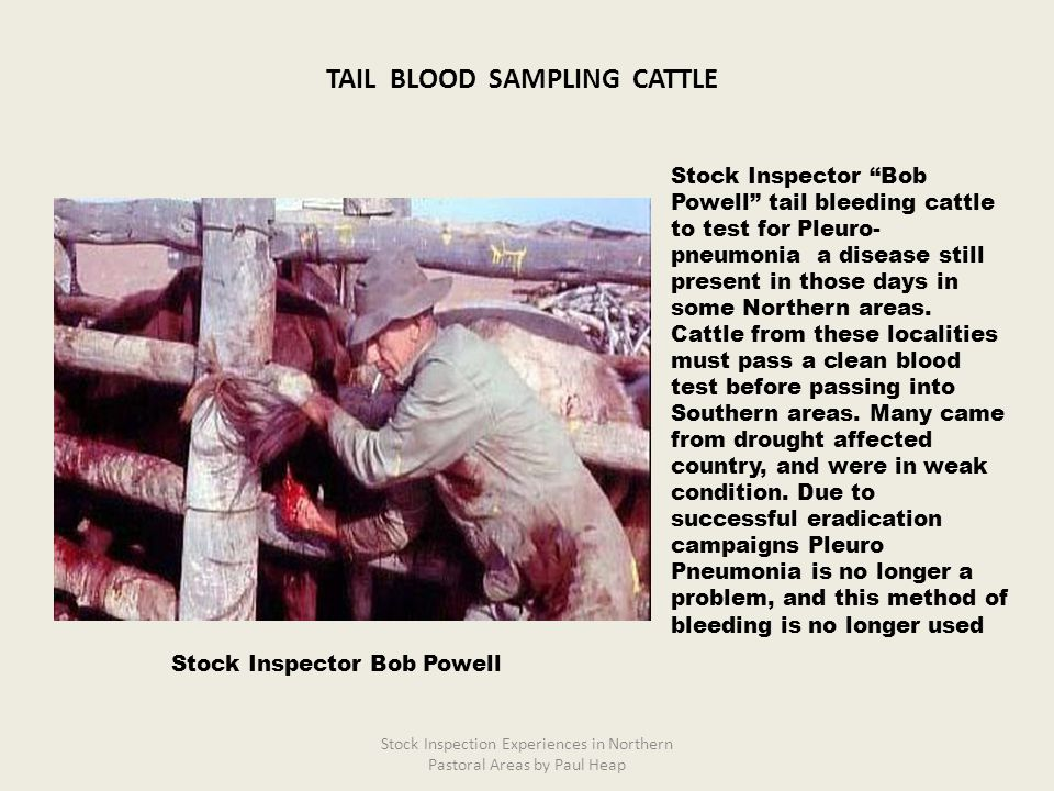 "Stock Inspector ""Bob Powell"" tail bleeding cattle to test for Pleuro- pneumonia a disease still present in those days in some Northern areas. Cattle f"
