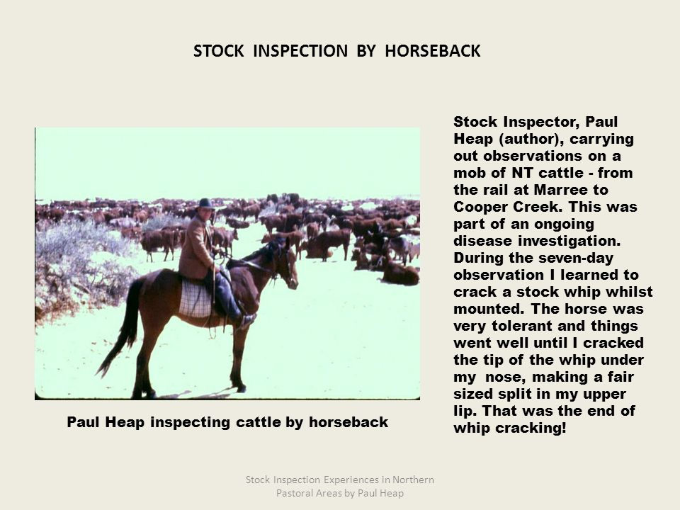 Stock Inspector, Paul Heap (author), carrying out observations on a mob of NT cattle - from the rail at Marree to Cooper Creek. This was part of an on