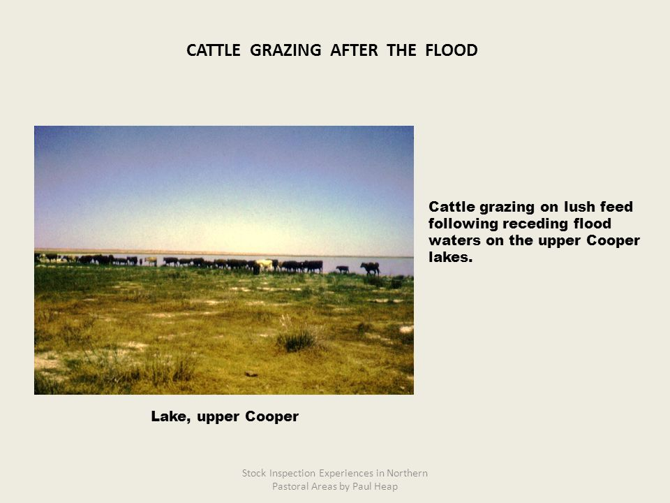 Cattle grazing on lush feed following receding flood waters on the upper Cooper lakes.
