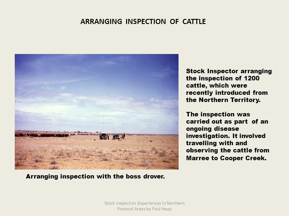 Stock Inspector arranging the inspection of 1200 cattle, which were recently introduced from the Northern Territory. The inspection was carried out as