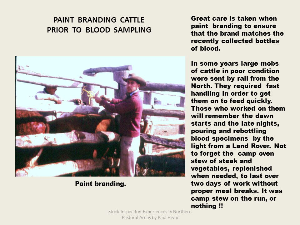 Great care is taken when paint branding to ensure that the brand matches the recently collected bottles of blood. In some years large mobs of cattle i