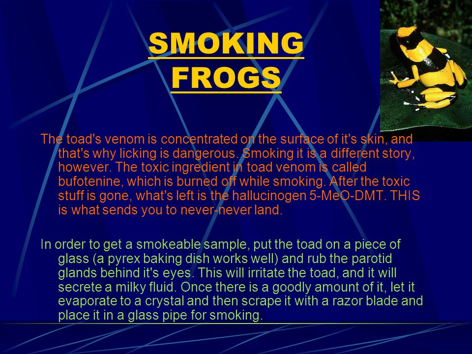 SMOKING FROGS The toad s venom is concentrated on the surface of it s skin, and that s why licking is dangerous.