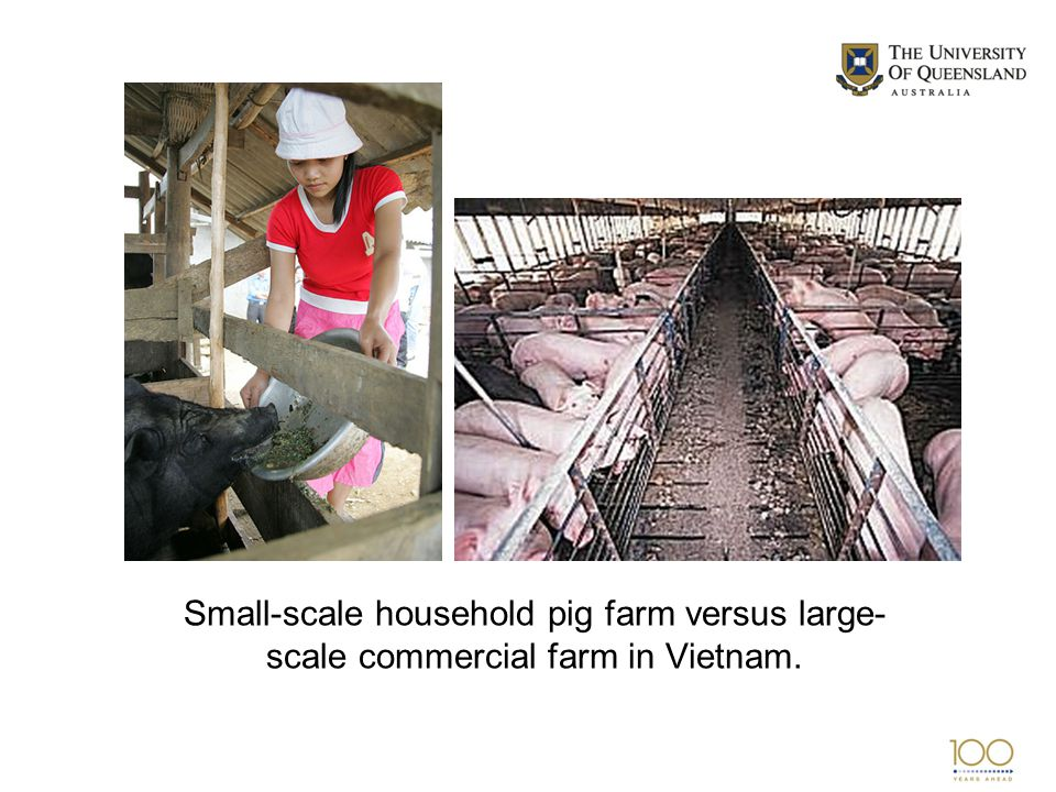 Small-scale household pig farm versus large- scale commercial farm in Vietnam.