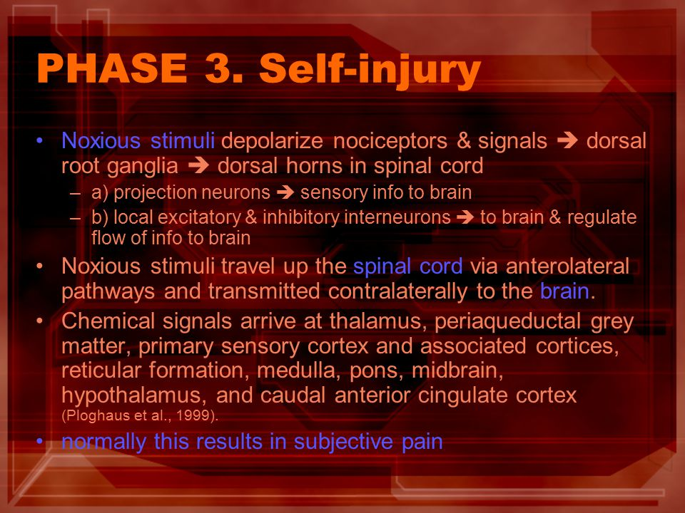 PHASE 3. Self-injury Noxious stimuli depolarize nociceptors & signals  dorsal root ganglia  dorsal horns in spinal cord –a) projection neurons  sen