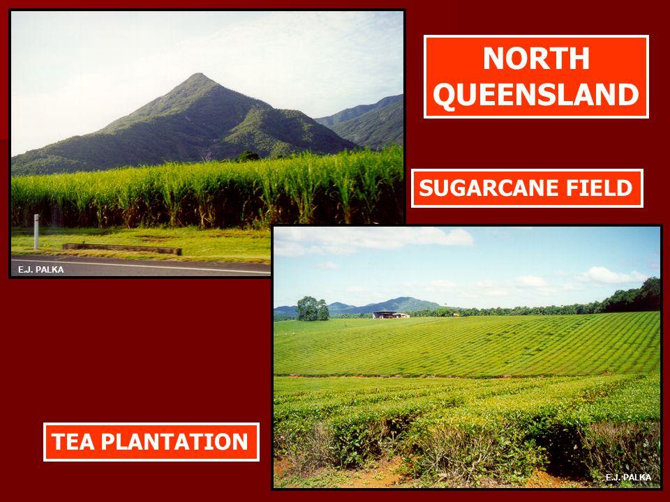 SUGARCANE FIELD TEA PLANTATION NORTH QUEENSLAND E.J. PALKA