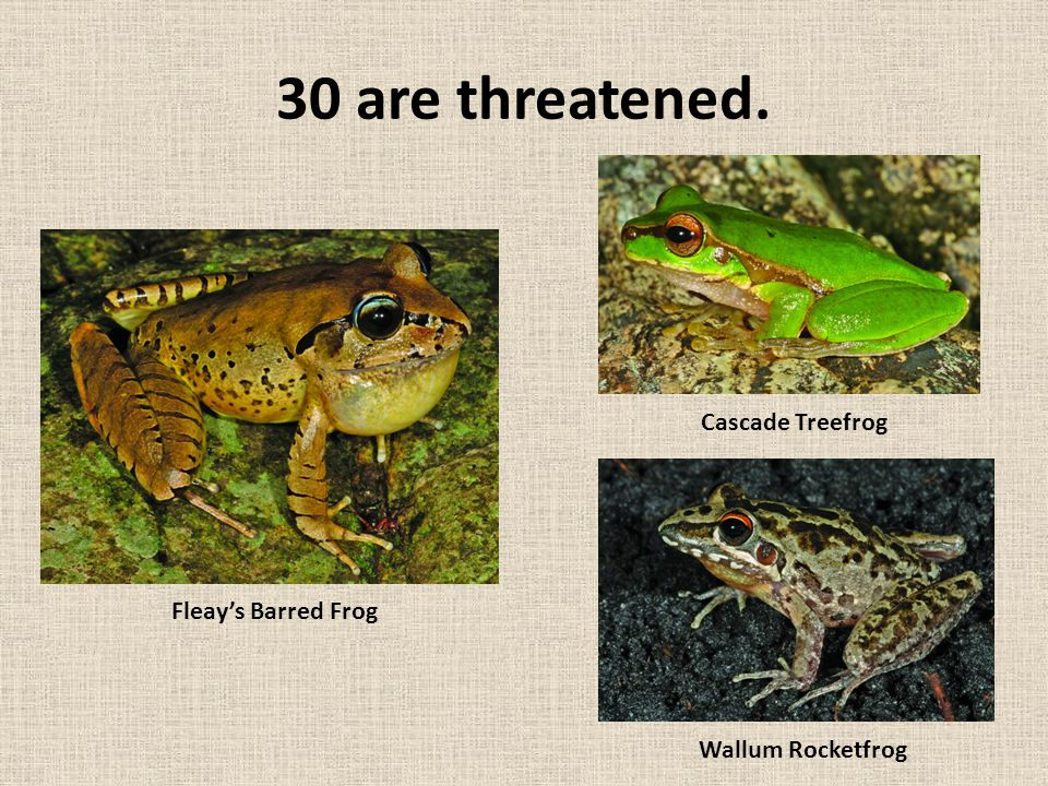 30 are threatened. Fleay's Barred Frog Cascade Treefrog Wallum Rocketfrog