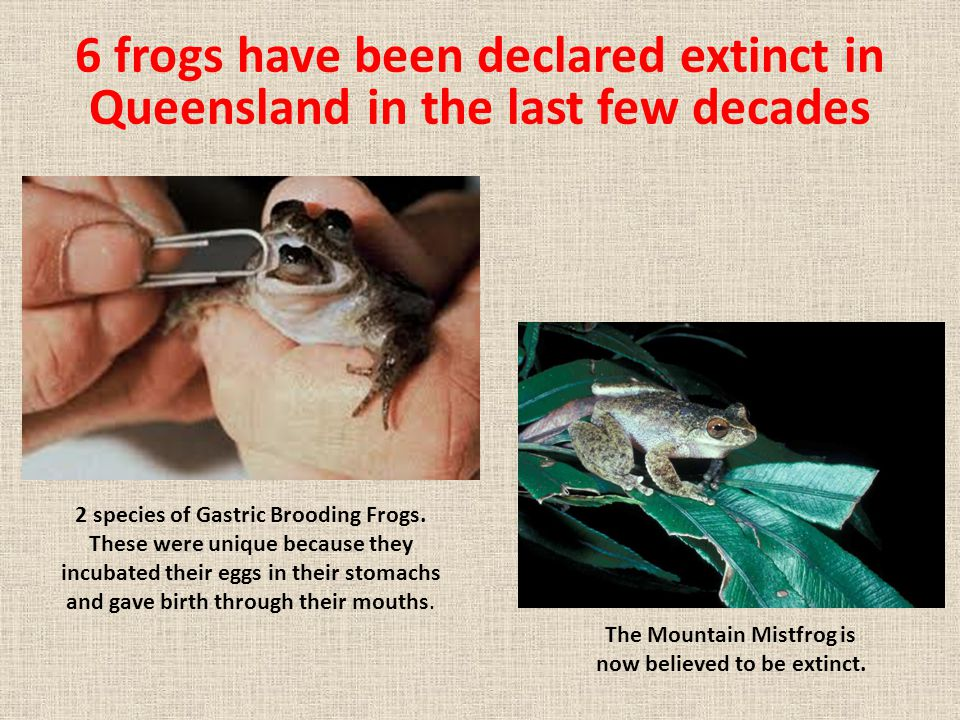 6 frogs have been declared extinct in Queensland in the last few decades 2 species of Gastric Brooding Frogs. These were unique because they incubated