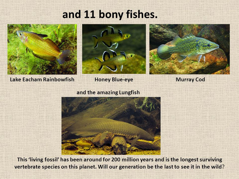 and 11 bony fishes. This 'living fossil' has been around for 200 million years and is the longest surviving vertebrate species on this planet. Will ou