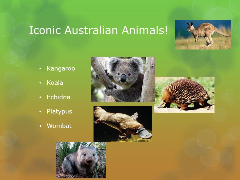Iconic Australian Animals! Kangaroo Koala Echidna Platypus Wombat
