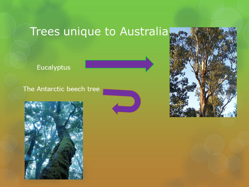 Trees unique to Australia Eucalyptus The Antarctic beech tree