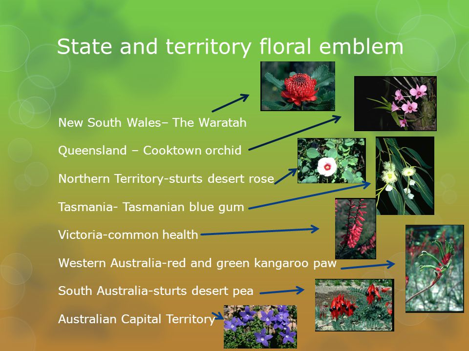 State and territory floral emblem New South Wales– The Waratah Queensland – Cooktown orchid Northern Territory-sturts desert rose Tasmania- Tasmanian blue gum Victoria-common health Western Australia-red and green kangaroo paw South Australia-sturts desert pea Australian Capital Territory