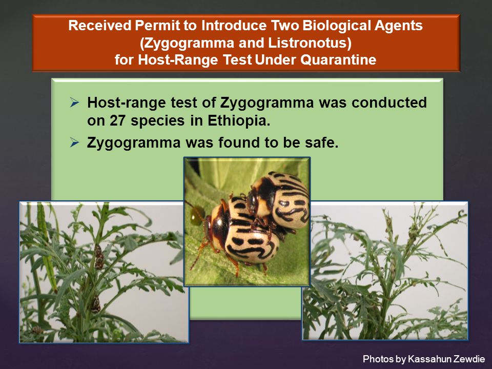 Host-range test of Zygogramma was conducted on 27 species in Ethiopia.