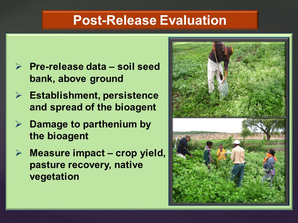 Post-Release Evaluation  Pre-release data – soil seed bank, above ground  Establishment, persistence and spread of the bioagent  Damage to parthenium by the bioagent  Measure impact – crop yield, pasture recovery, native vegetation