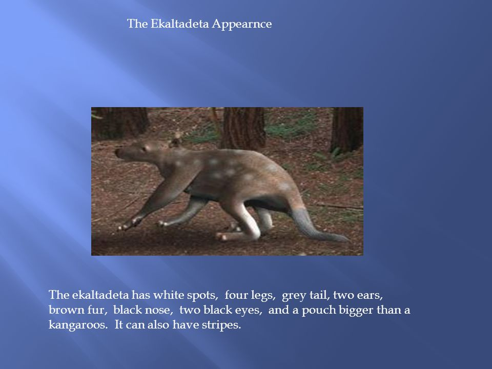 The Ekaltadeta Appearnce The ekaltadeta has white spots, four legs, grey tail, two ears, brown fur, black nose, two black eyes, and a pouch bigger than a kangaroos.