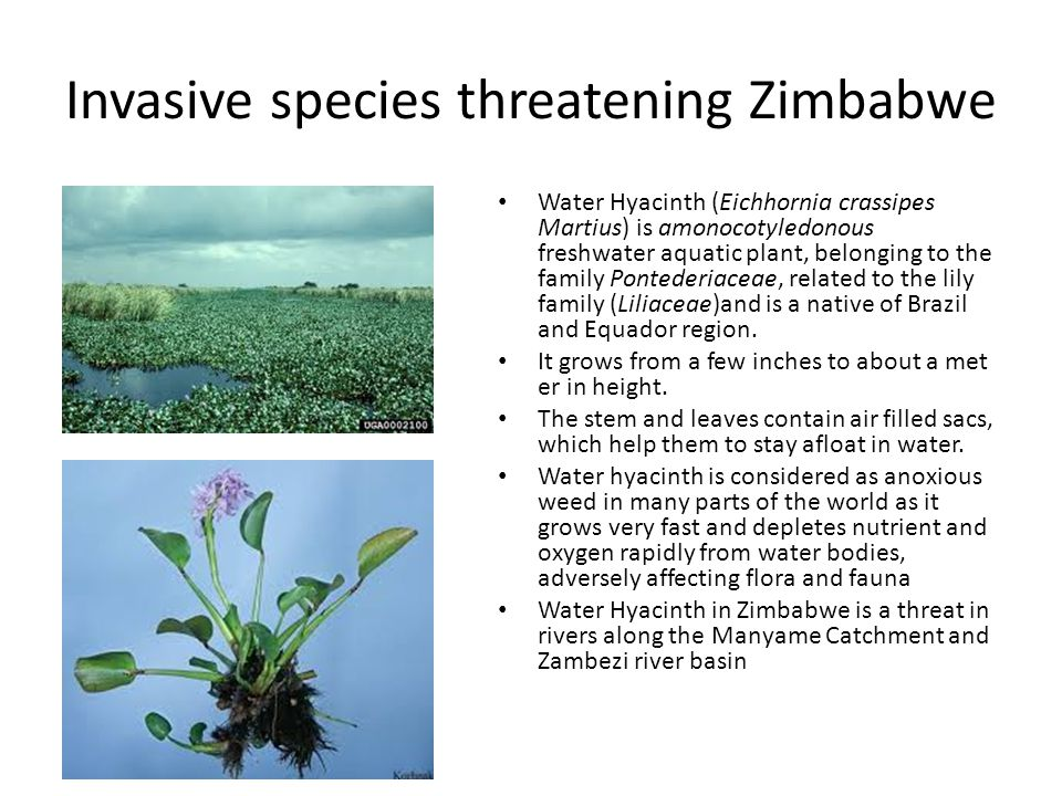 Invasive species threatening Zimbabwe Water Hyacinth (Eichhornia crassipes Martius) is amonocotyledonous freshwater aquatic plant, belonging to the fa