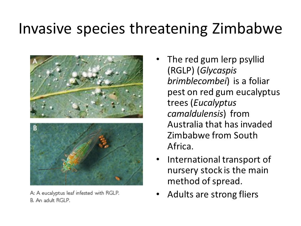 Invasive species threatening Zimbabwe The red gum lerp psyllid (RGLP) (Glycaspis brimblecombei) is a foliar pest on red gum eucalyptus trees (Eucalypt