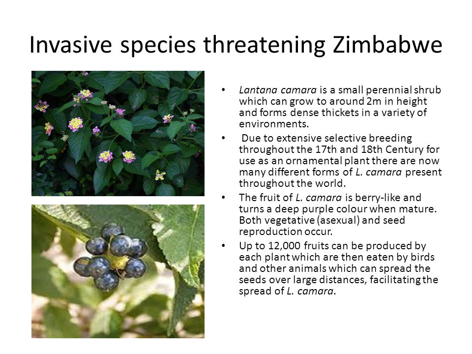 Invasive species threatening Zimbabwe Lantana camara is a small perennial shrub which can grow to around 2m in height and forms dense thickets in a va