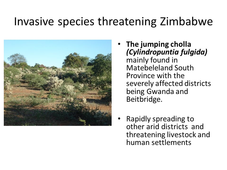Invasive species threatening Zimbabwe The jumping cholla (Cylindropuntia fulgida) mainly found in Matebeleland South Province with the severely affect