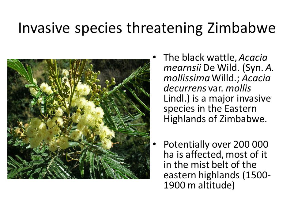 Invasive species threatening Zimbabwe The black wattle, Acacia mearnsii De Wild. (Syn. A. mollissima Willd.; Acacia decurrens var. mollis Lindl.) is a