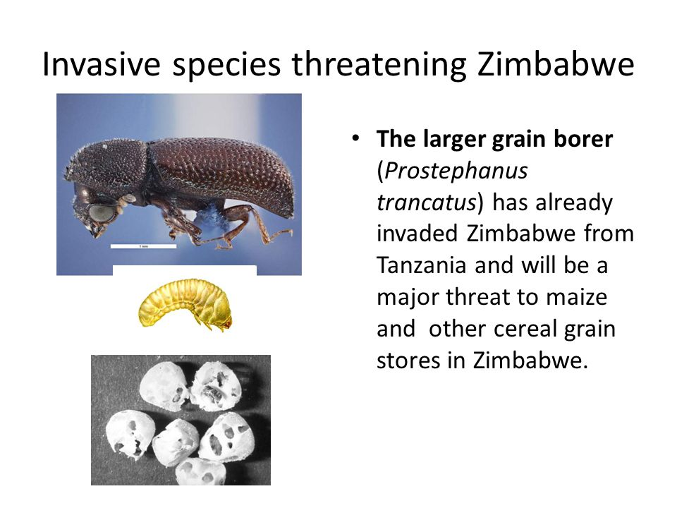 Invasive species threatening Zimbabwe The larger grain borer (Prostephanus trancatus) has already invaded Zimbabwe from Tanzania and will be a major t