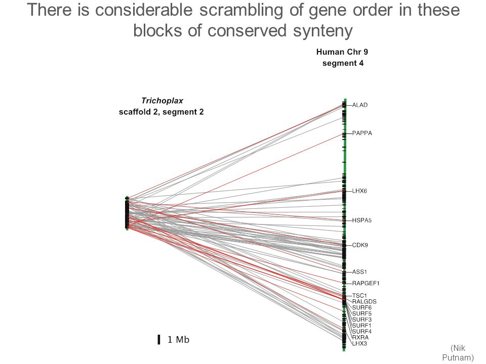 There is considerable scrambling of gene order in these blocks of conserved synteny (Nik Putnam)