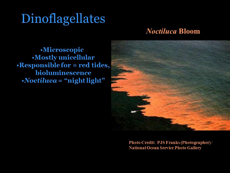 Dinoflagellates Microscopic Mostly unicellular Responsible for = red tides, bioluminescence Noctiluca = night light Noctiluca Bloom Photo Credit: PJS Franks (Photographer) / National Ocean Service Photo Gallery