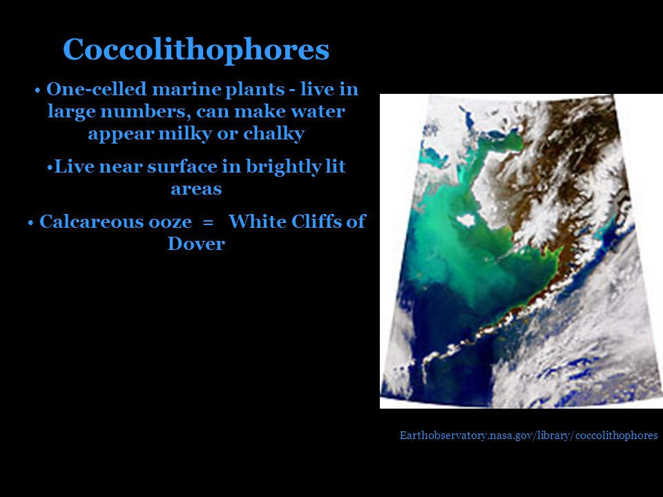 Coccolithophores One-celled marine plants - live in large numbers, can make water appear milky or chalky Live near surface in brightly lit areas Calcareous ooze = White Cliffs of Dover Earthobservatory.nasa.gov/library/coccolithophores