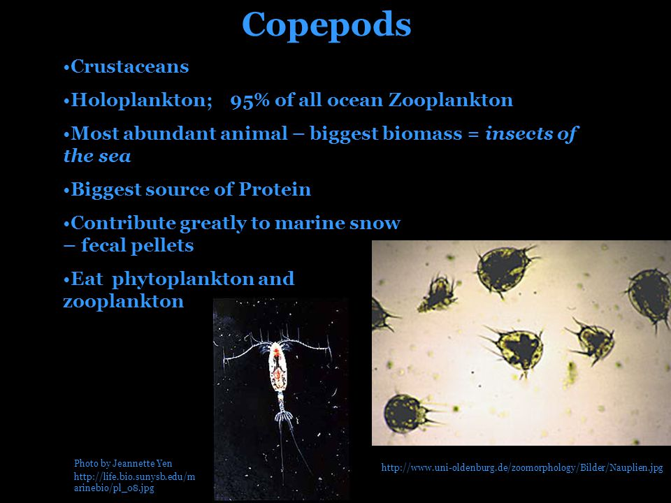Copepods Crustaceans Holoplankton; 95% of all ocean Zooplankton Most abundant animal – biggest biomass = insects of the sea Biggest source of Protein Contribute greatly to marine snow – fecal pellets Eat phytoplankton and zooplankton Photo by Jeannette Yen http://life.bio.sunysb.edu/m arinebio/pl_08.jpg http://www.uni-oldenburg.de/zoomorphology/Bilder/Nauplien.jpg