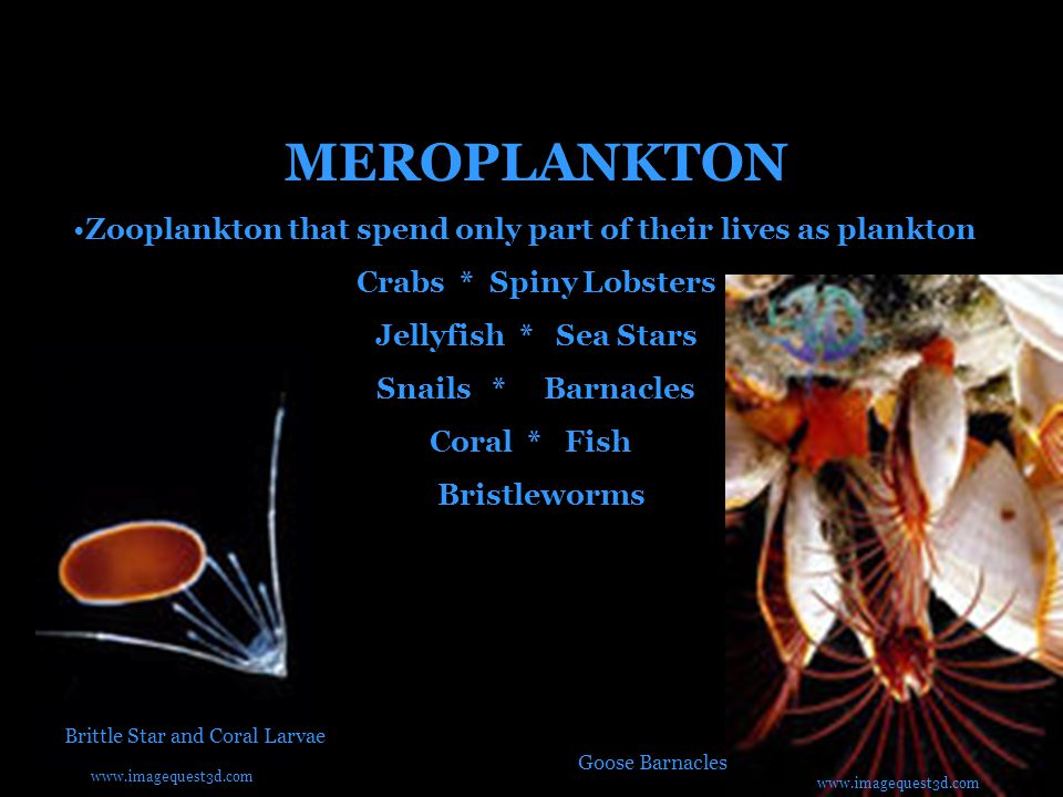 MEROPLANKTON Zooplankton that spend only part of their lives as plankton Crabs * Spiny Lobsters Jellyfish * Sea Stars Snails * Barnacles Coral * Fish Bristleworms Brittle Star and Coral Larvae Goose Barnacles www.imagequest3d.com