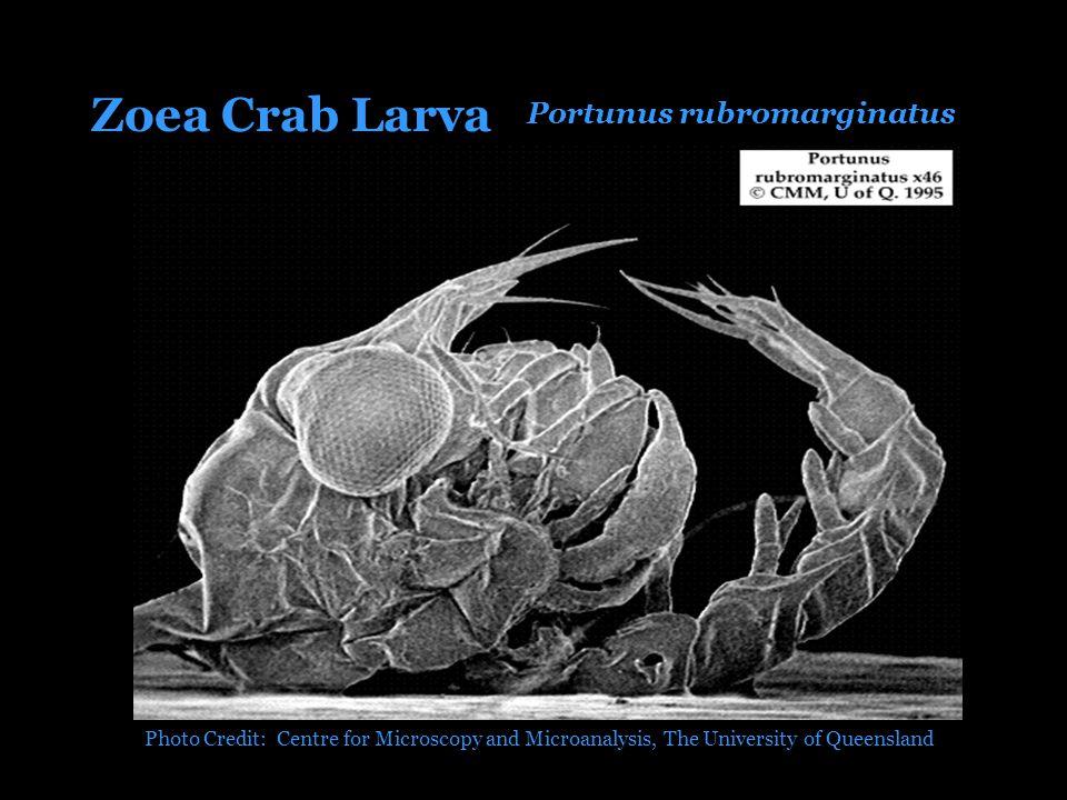 Portunus rubromarginatus Zoea Crab Larva Photo Credit: Centre for Microscopy and Microanalysis, The University of Queensland