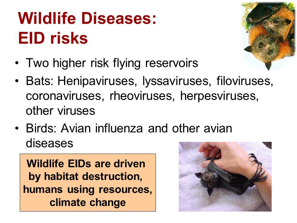 Wildlife Diseases: EID risks Two higher risk flying reservoirs Bats: Henipaviruses, lyssaviruses, filoviruses, coronaviruses, rheoviruses, herpesvirus
