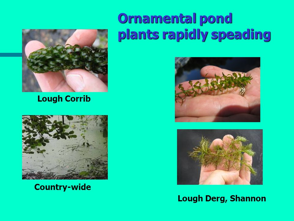 Ornamental pond plants rapidly speading Lough Corrib Country-wide Lough Derg, Shannon