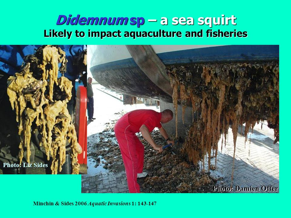 Didemnum sp – a sea squirt Likely to impact aquaculture and fisheries Photo: Damien Offer Photo: Liz Sides Minchin & Sides 2006 Aquatic Invasions 1: 1