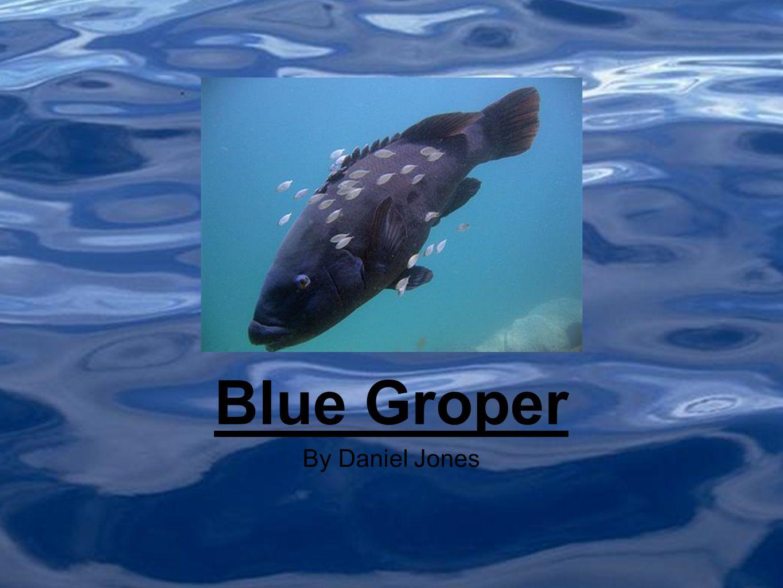 By Daniel Jones Blue Groper