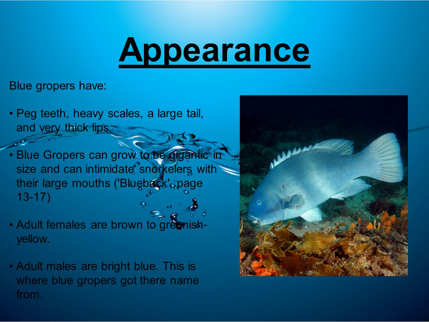 Appearance Blue gropers have: Peg teeth, heavy scales, a large tail, and very thick lips.