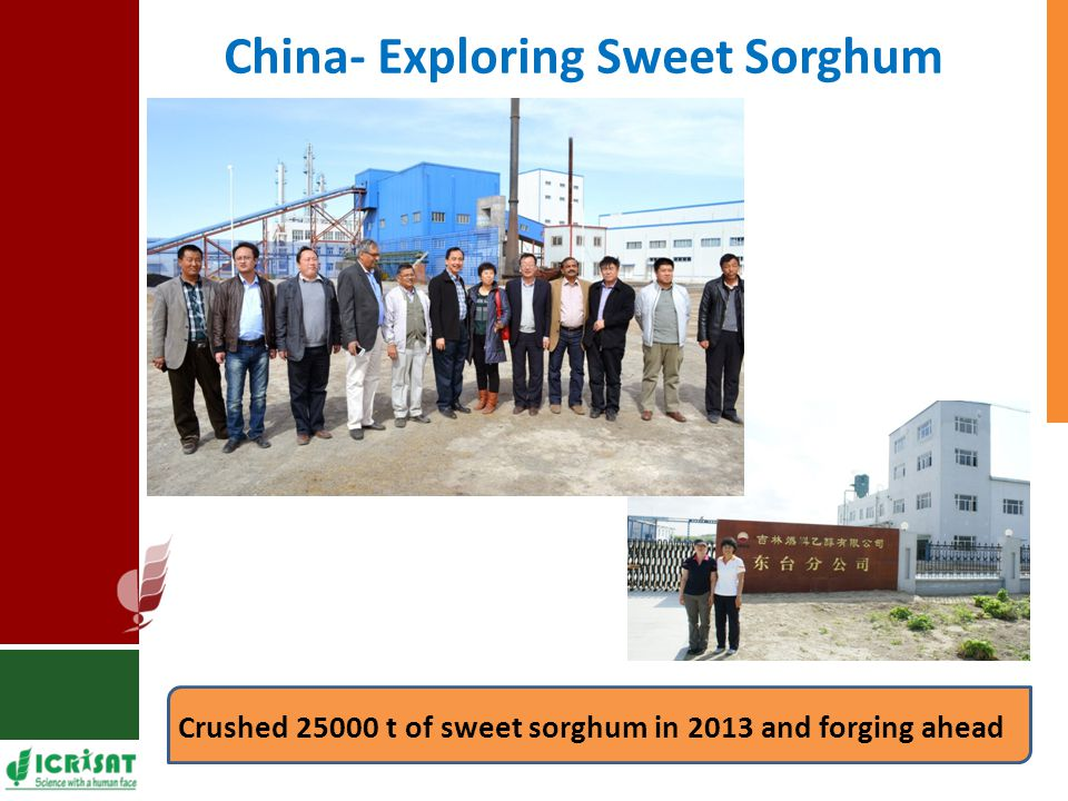 China- Exploring Sweet Sorghum Crushed 25000 t of sweet sorghum in 2013 and forging ahead ZTE Distillery, Inner Mangolia