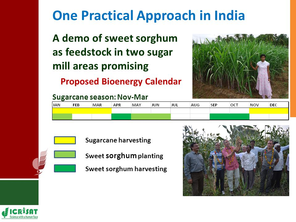 One Practical Approach in India A demo of sweet sorghum as feedstock in two sugar mill areas promising Sugarcane season: Nov-Mar Proposed Bioenergy Calendar Sugarcane harvesting Sweet sorghum harvesting Sweet sorghum planting