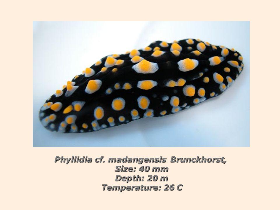 Phyllidia cf. madangensis Brunckhorst, Size: 40 mm Depth: 20 m Temperature: 26 C