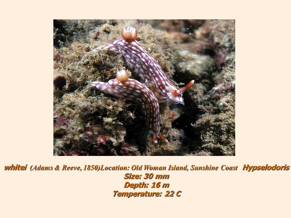 Hypselodoris whitei (Adams & Reeve, 1850)Location: Old Woman Island, Sunshine Coast Size: 30 mm Depth: 16 m Temperature: 22 C
