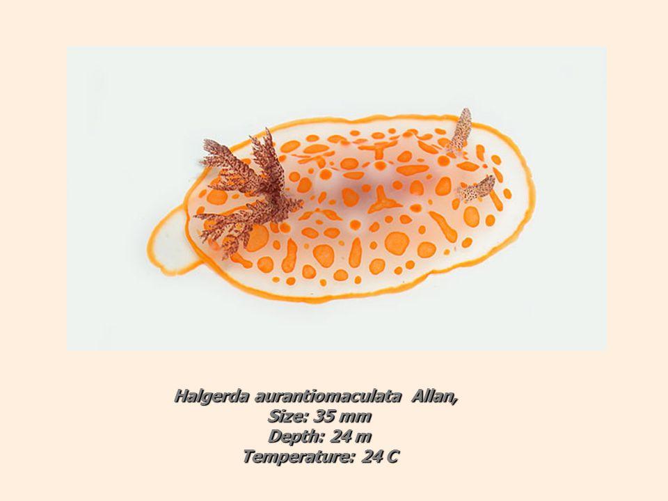 Halgerda aurantiomaculata Allan, Size: 35 mm Depth: 24 m Temperature: 24 C