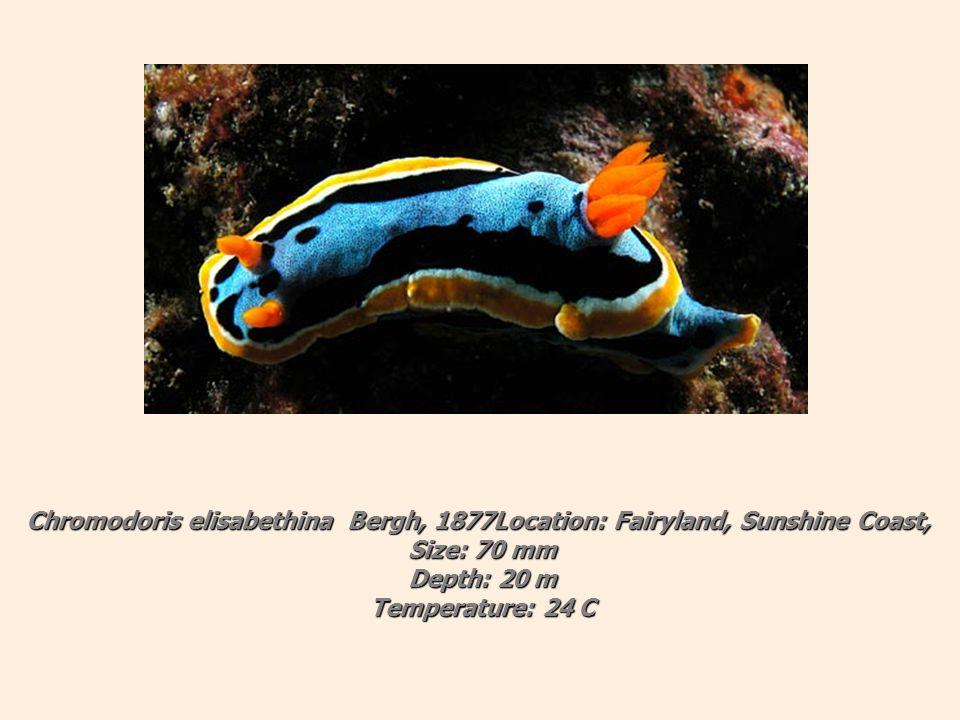 Chromodoris elisabethina Bergh, 1877Location: Fairyland, Sunshine Coast, Size: 70 mm Depth: 20 m Temperature: 24 C