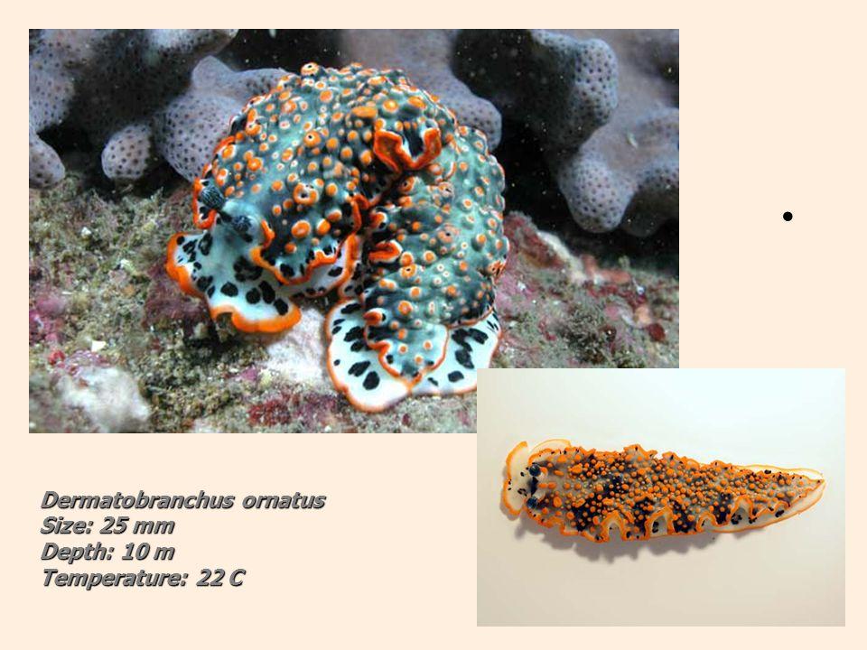 Dermatobranchus ornatus Size: 25 mm Depth: 10 m Temperature: 22 C