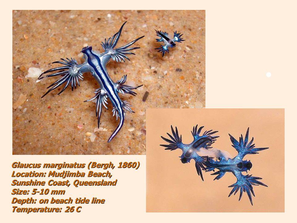 Glaucus marginatus (Bergh, 1860) Location: Mudjimba Beach, Sunshine Coast, Queensland Size: 5-10 mm Depth: on beach tide line Temperature: 26 C