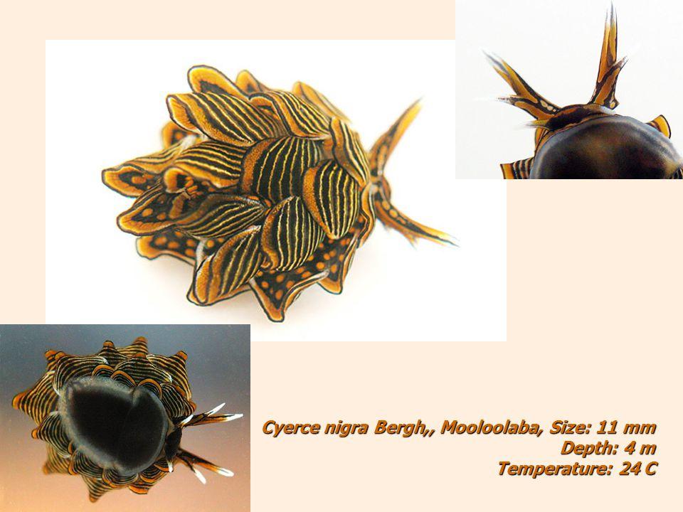 Cyerce nigra Bergh,, Mooloolaba, Size: 11 mm Depth: 4 m Temperature: 24 C