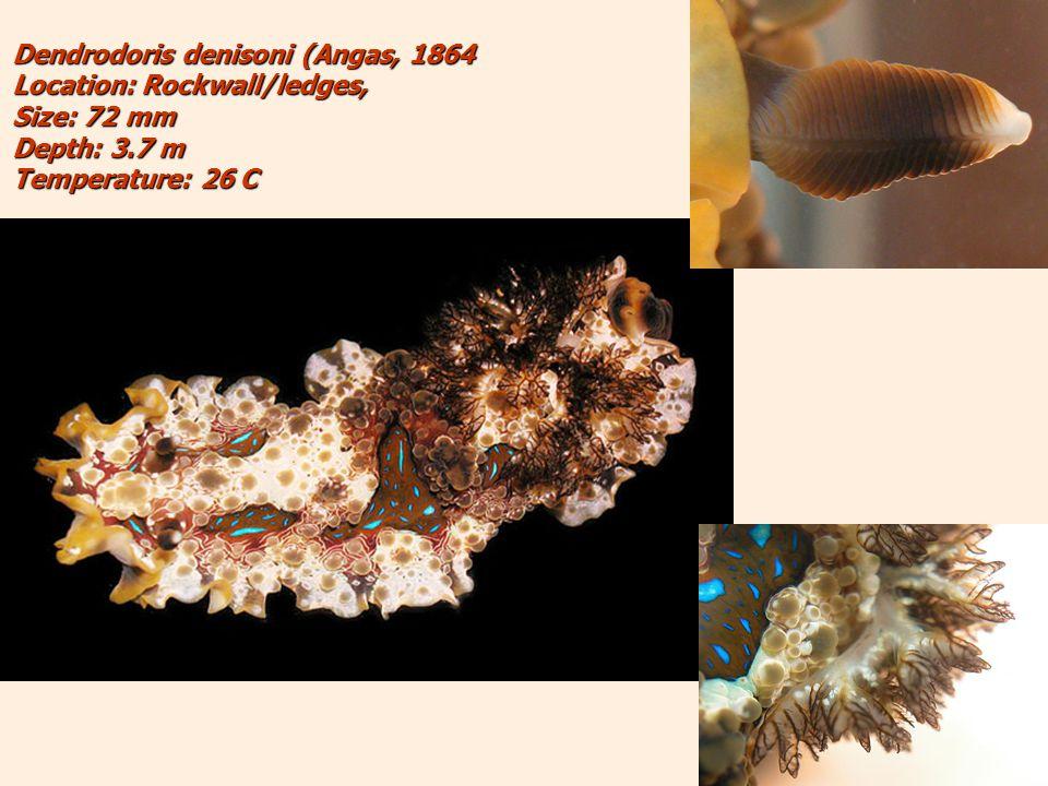 Dendrodoris denisoni (Angas, 1864 Location: Rockwall/ledges, Size: 72 mm Depth: 3.7 m Temperature: 26 C