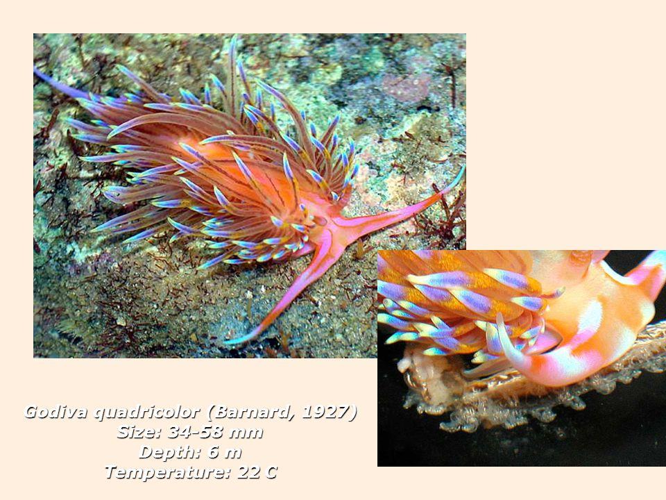 Godiva quadricolor (Barnard, 1927) Size: 34-58 mm Depth: 6 m Temperature: 22 C