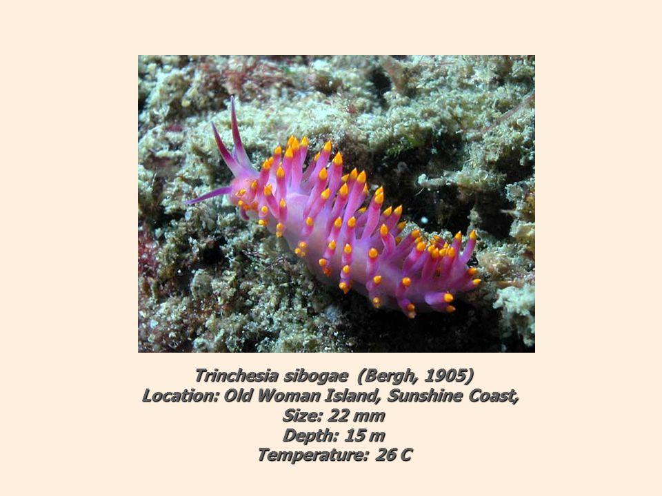 Trinchesia sibogae (Bergh, 1905) Location: Old Woman Island, Sunshine Coast, Size: 22 mm Depth: 15 m Temperature: 26 C